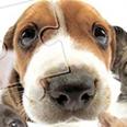 Jigsaw Cão bonito